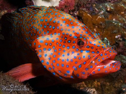 Jewel Grouper (Cephalopholis miniata) - Tulamben, Bali (C... by Marco Waagmeester 